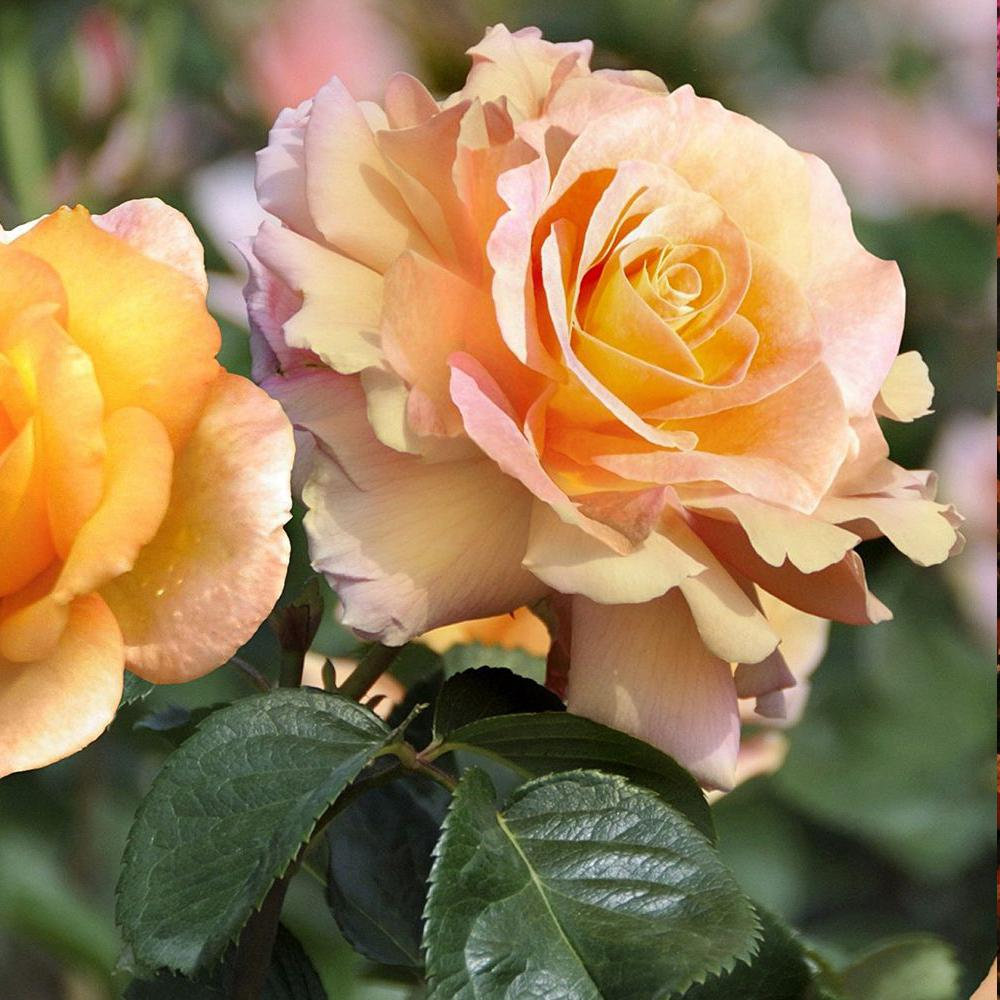 Mea Nursery Fragrant Charlotte Brownell Hybrid Tea Rose with Yellow to Pink Flowers was $27.98 now $11.49 (59.0% off)
