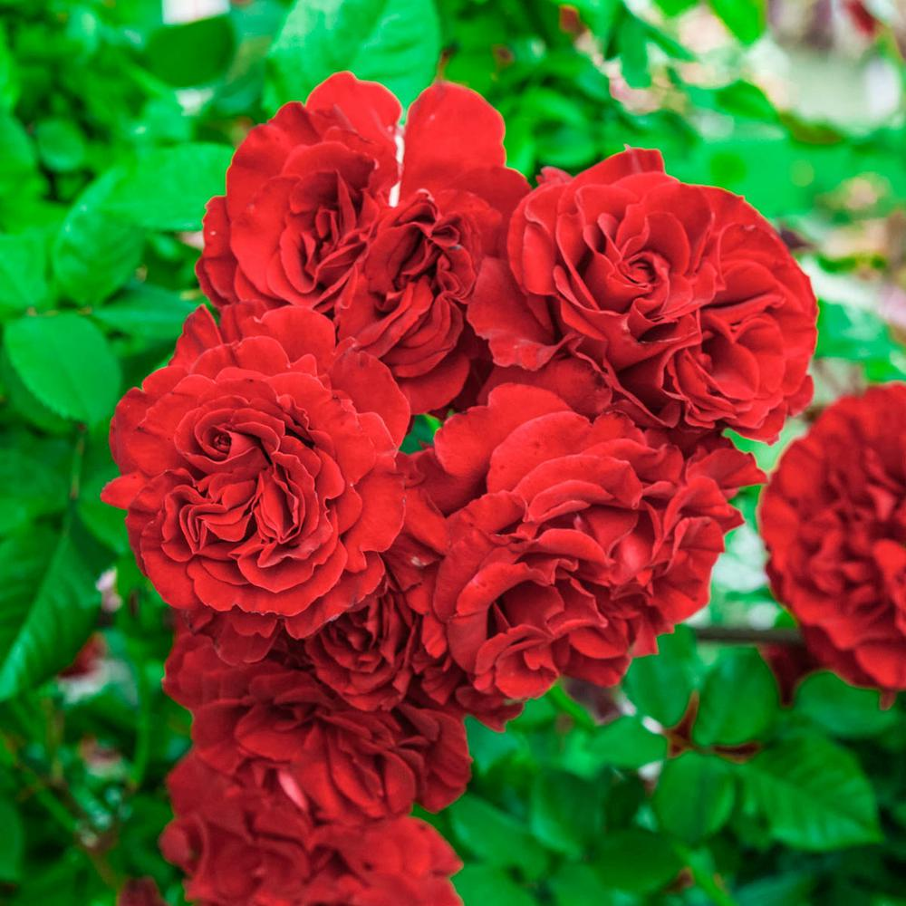 Spring Hill Nurseries Lady in Red Climbing Rose, Live Bareroot Plant, Red Color Flowers (1-Pack)