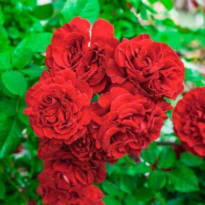 Lady in Red Climbing Rose, Live Bareroot Plant, Red Color Flowers (1-Pack)