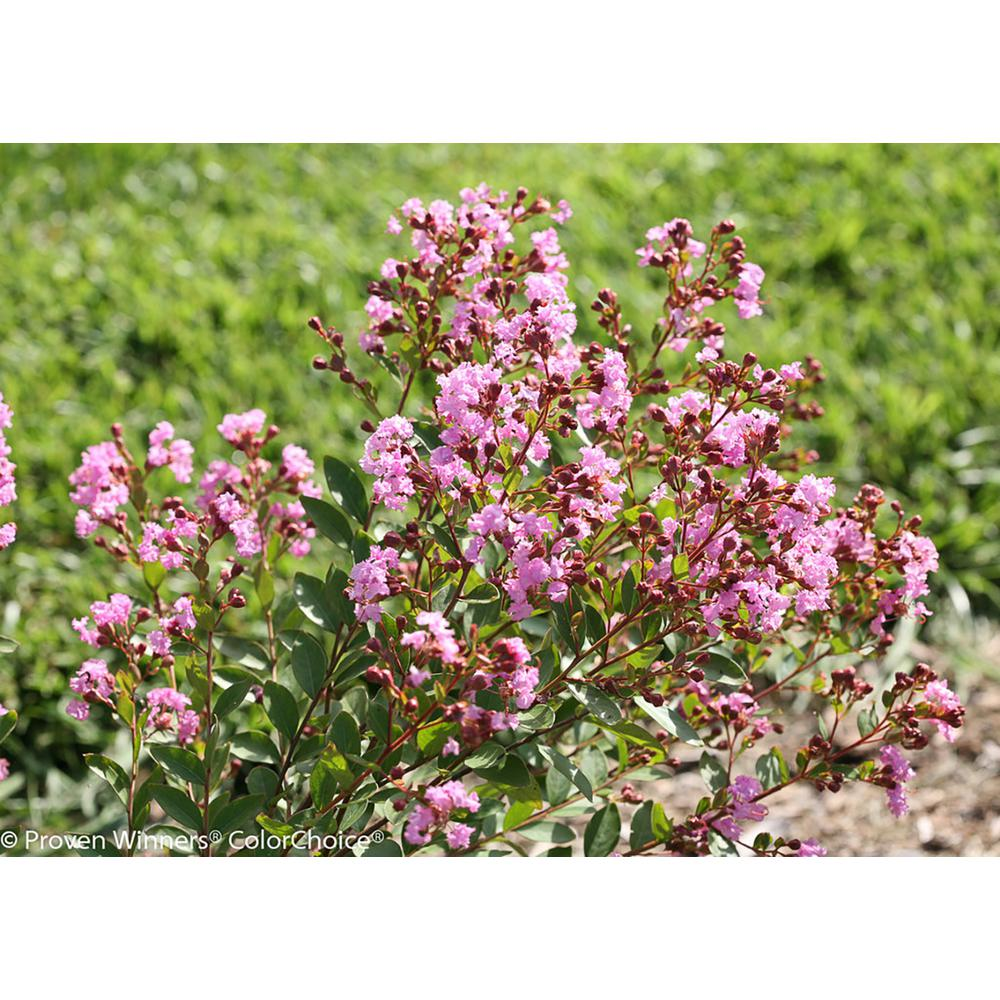 Proven Winners 3 Gal Infinitini Orchid Crapemyrtle Lagerstroemia