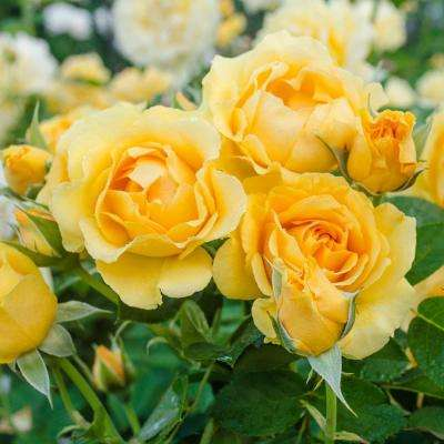 2 in. Pot, Julia Child Floribunda Rose, Live Potted Plant, Yellow Color Flowers (1-Pack)