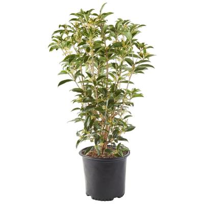 2.25 Gal. Osmanthus Tea Olive Shrub with White Fragrant Flowers