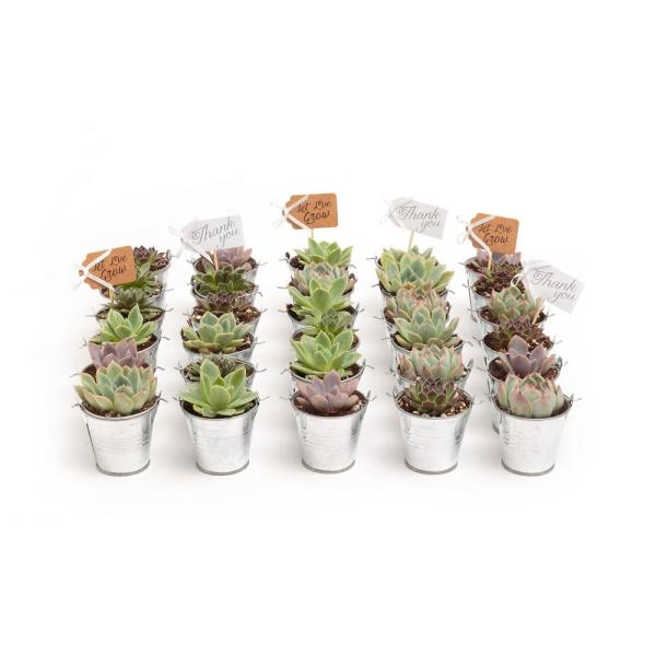2 in. Wedding Event Rosette Succulents Plant with Tin Metal Pails and Thank You Tags (30-Pack)