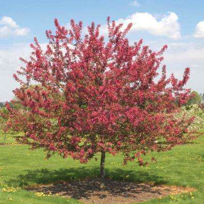 Prarie Fire Crabapple (Malus) Live Bareroot Ornamental Tree Red Flowers (1-Pack)