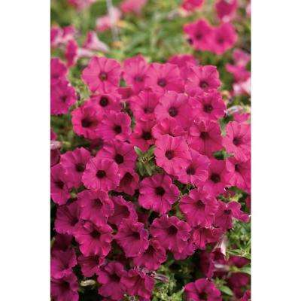 Supertunia Sangria Charm (Petunia) Live Plant Purple-Pink Flowers 4.25 in. Grande (4-Pack)