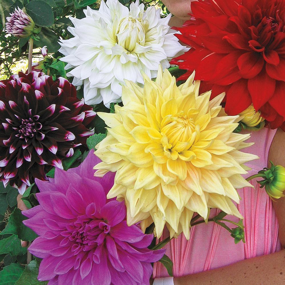 Dinner Plate Dahlia Mixed Bulbs (5-Pack)