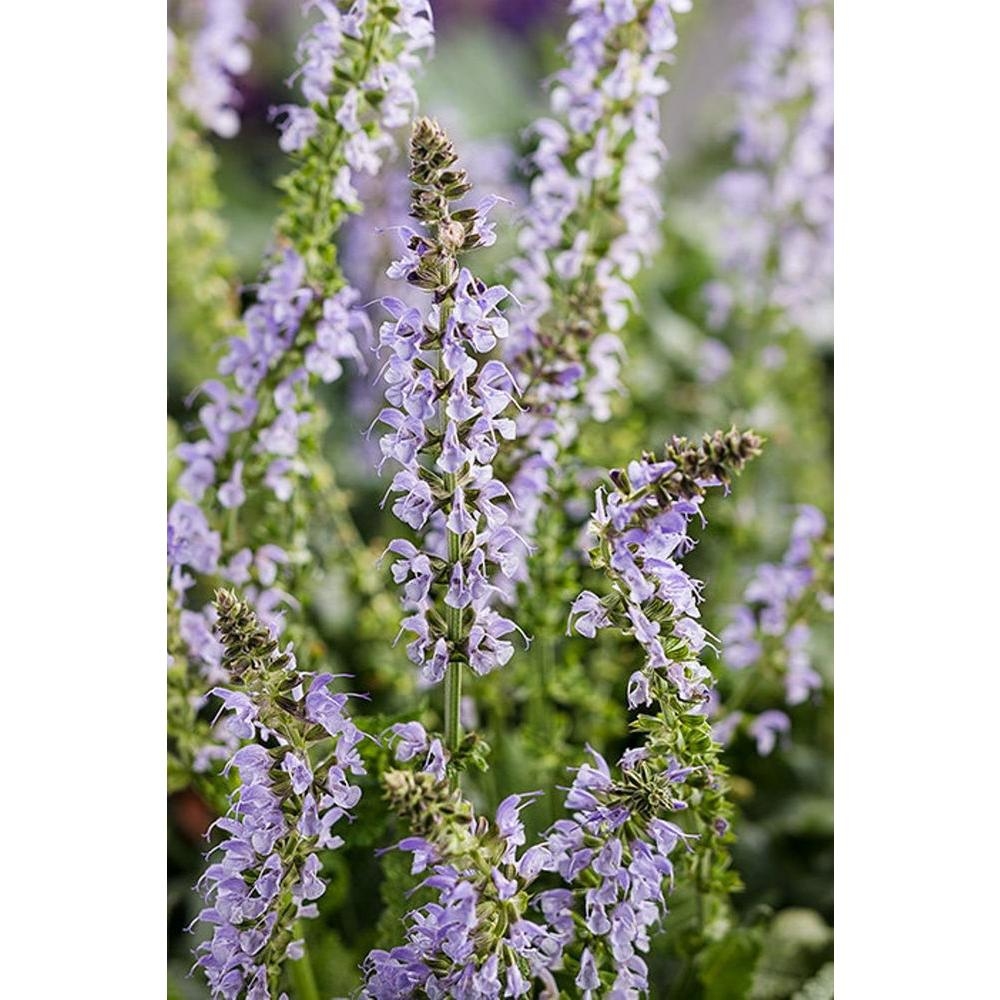 Proven winners color spires crystal blue perennial salvia salvia proven winners color spires crystal blue perennial salvia salvia live plant blue flowers izmirmasajfo