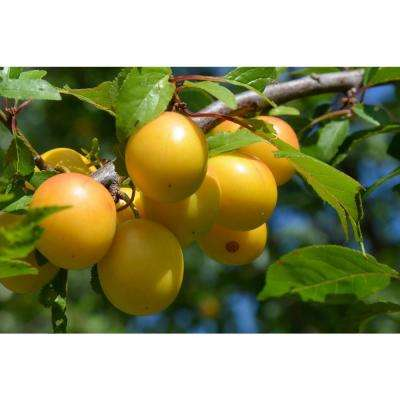 Dwarf Shiro Plum Tree