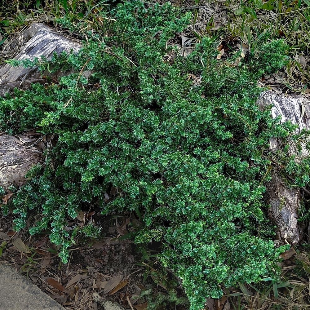 2.5 Qt. Blue Pacific Juniper - Evergreen Groundcover Plant