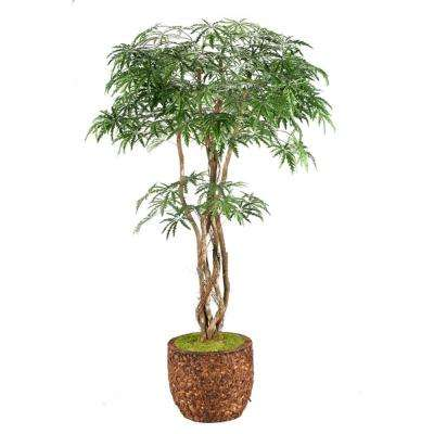 8 ft. Indoor Finger Aralia Tree in Round Banana Leaf Basket