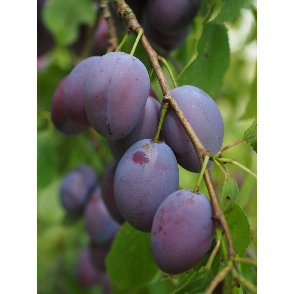 Online Orchards Dwarf Italian Plum Tree Bare Root