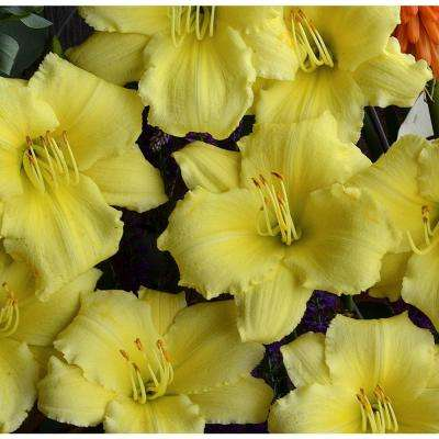 Yellow 1 Qt. Daylily Mix (Pack of 4)