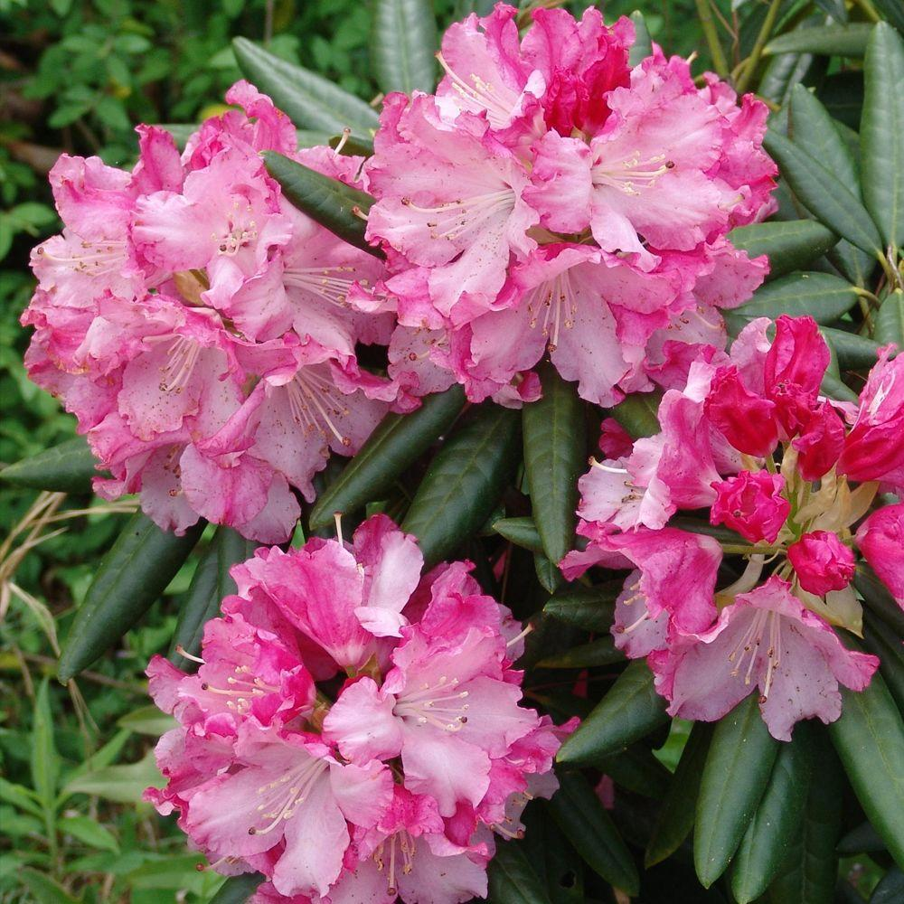 Southern Living Plant Collection 2 Gal Brandi Southgate