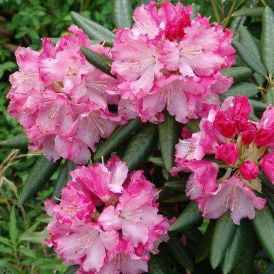 2 Gal. Brandi Southgate Rhododendron, Live Evergreen Shrub, Pink Ruffled Blooms