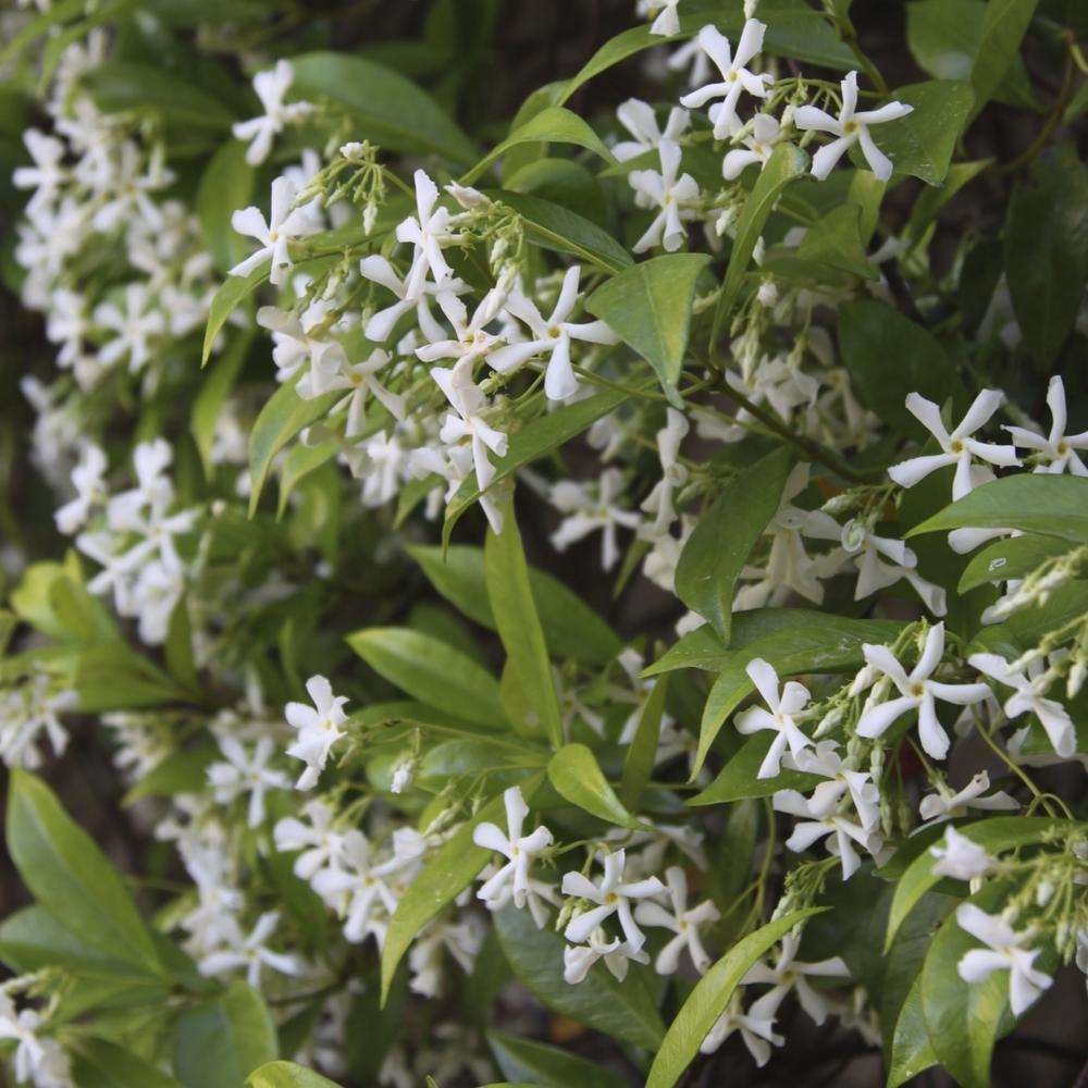 2.5 qt. Jasmine Confederate Flowering Shrub with White Flowers