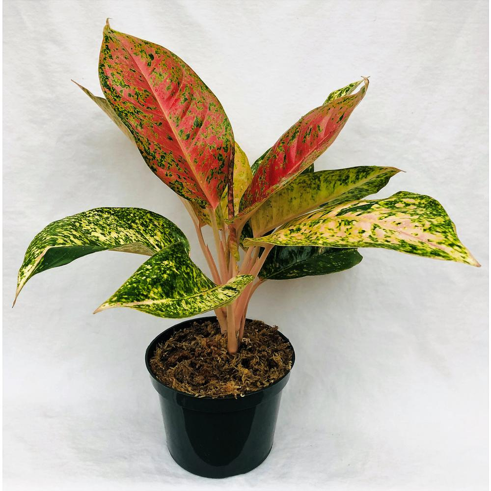 6 In Aglaonema Plant In Grower Pot Paglo6in The Home Depot