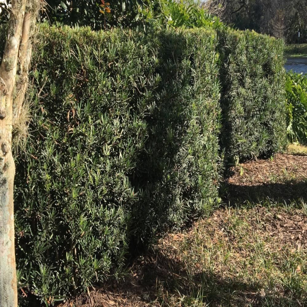 3 Gal Yew Plum Pine Podocarpus Shrub P371g3 The Home Depot
