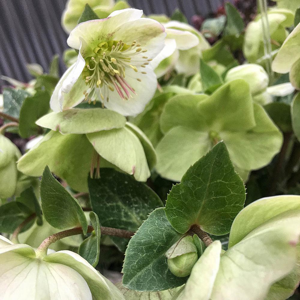 4 in. Pot White Flowers Molly's White Lenten Rose (Helleborus) Live Potted Perennial Plant (1-Pack)