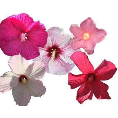 Hibiscus Mix 3-Plants in 3 Separate 4 in. Pots