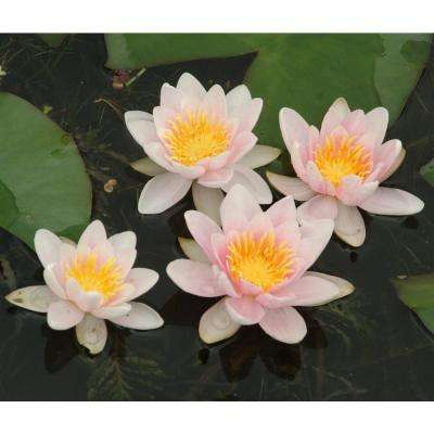 Premium Series Water Lily Mary Patricia Kit