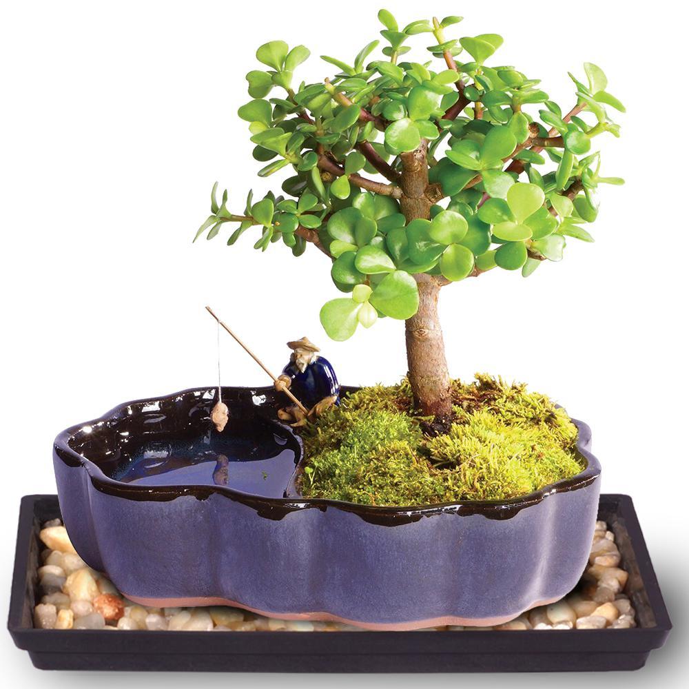 Brussel S Bonsai Dwarf Jade Bonsai In Zen Reflections Pot Dt1417djz The Home Depot