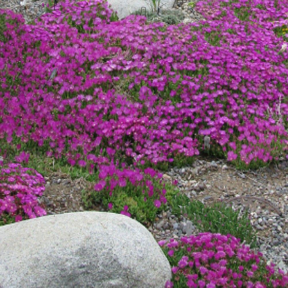 OnlinePlantCenter 1 gal. John Proffitt Table Mountain Ice Plant-DISCONTINUED