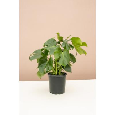 Swiss Cheese Plant (Monstera Deliciosa) in 10 in. Grower Pot
