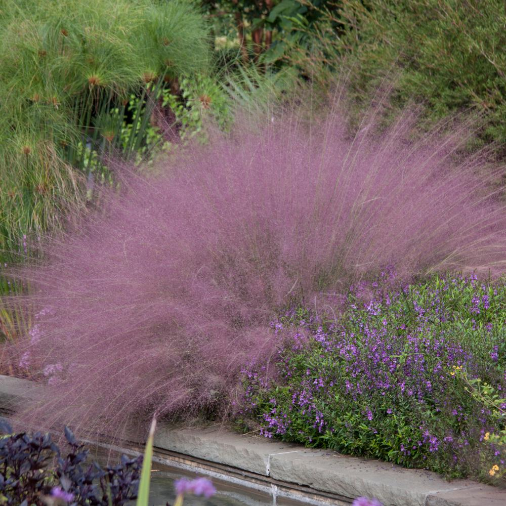 Spring Hill Nurseries 250 Qt Pot Pink Muhly Grass Muhlenbergia