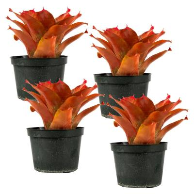 Orange Parfait (Neoregelia) Bromeliad Live plant in 8 in. Growers Pot (4-Pack)