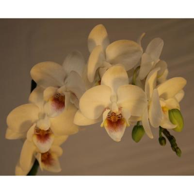 Luna River 3.5 in. Bio Pot White Phalaenopsis Orchid