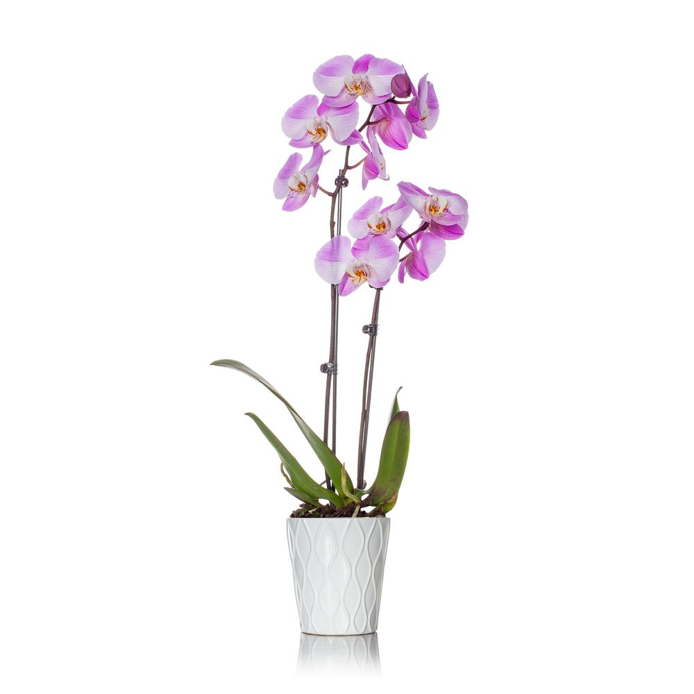 Just Add Ice Pink 5 In Holiday Orchid Plant In Ceramic Pot 2 Stems