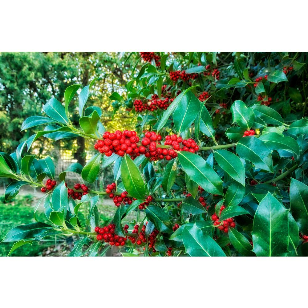 Online Orchards 1 Gal Castle Spire Blue Holly Shrub Vigorous