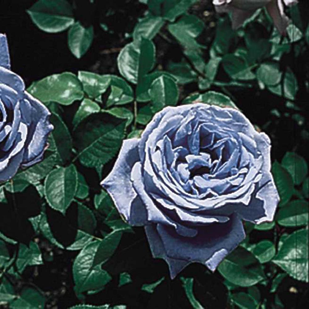 Blue Girl Hybrid Tea Rose, Live Bareroot Plant, Lavender Color Flowers (1-Pack)