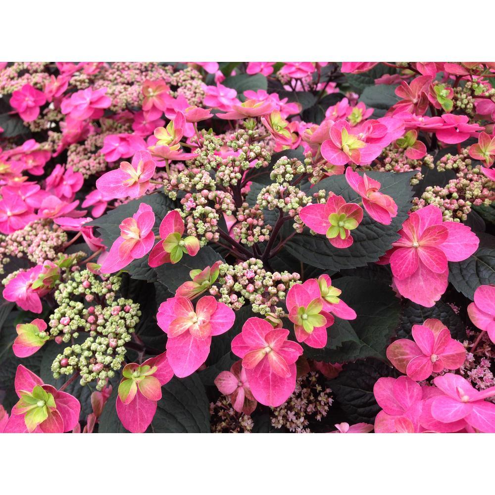 1 Gal. Tuff Stuff Red (Mountain Hydrangea) Live Shrub, Pink to Red Flowers