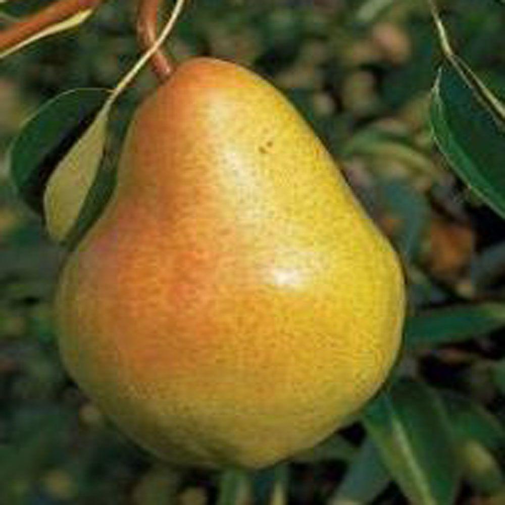 OnlinePlantCenter 5 gal. 5 ft. Bartlett Pear Fruit Tree