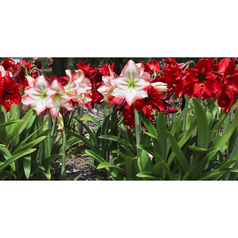 Mixed Garden Amaryllis Bulbs (12-Pack)