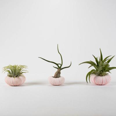 Air Plant Trio (Tillandsias) - Live Plants in 1.5 in. - 2.5 in. Pink, White and Peach Color Sea Urchin Shell Pot(3-Pack)