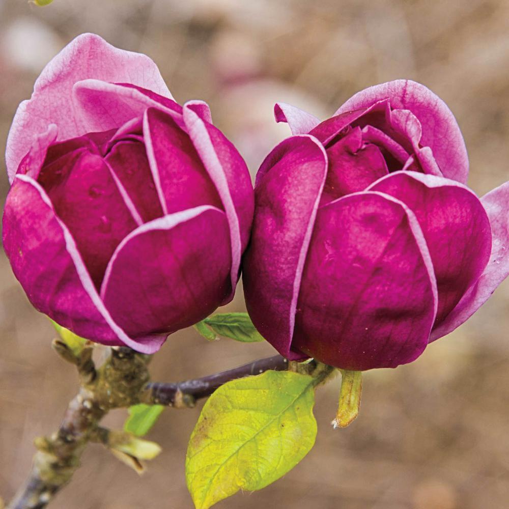 Spring Hill Nurseries Magnolia Genie Live Bareroot Flowering Tree