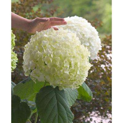 3 Gal. Incrediball Smooth Hydrangea, Live Shrub, Green to White Flowers
