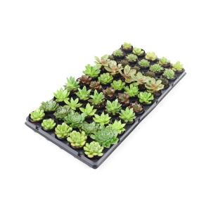 Succulent Plant Mix in 1.75 In. Cell Grower's Tray (50-Plants)