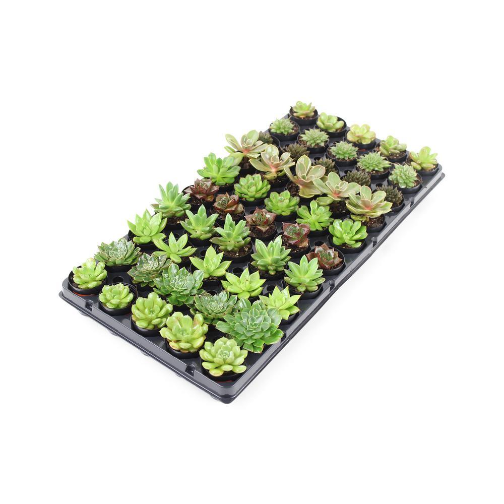 1.75 in. Succulent Mix (50-Plants)