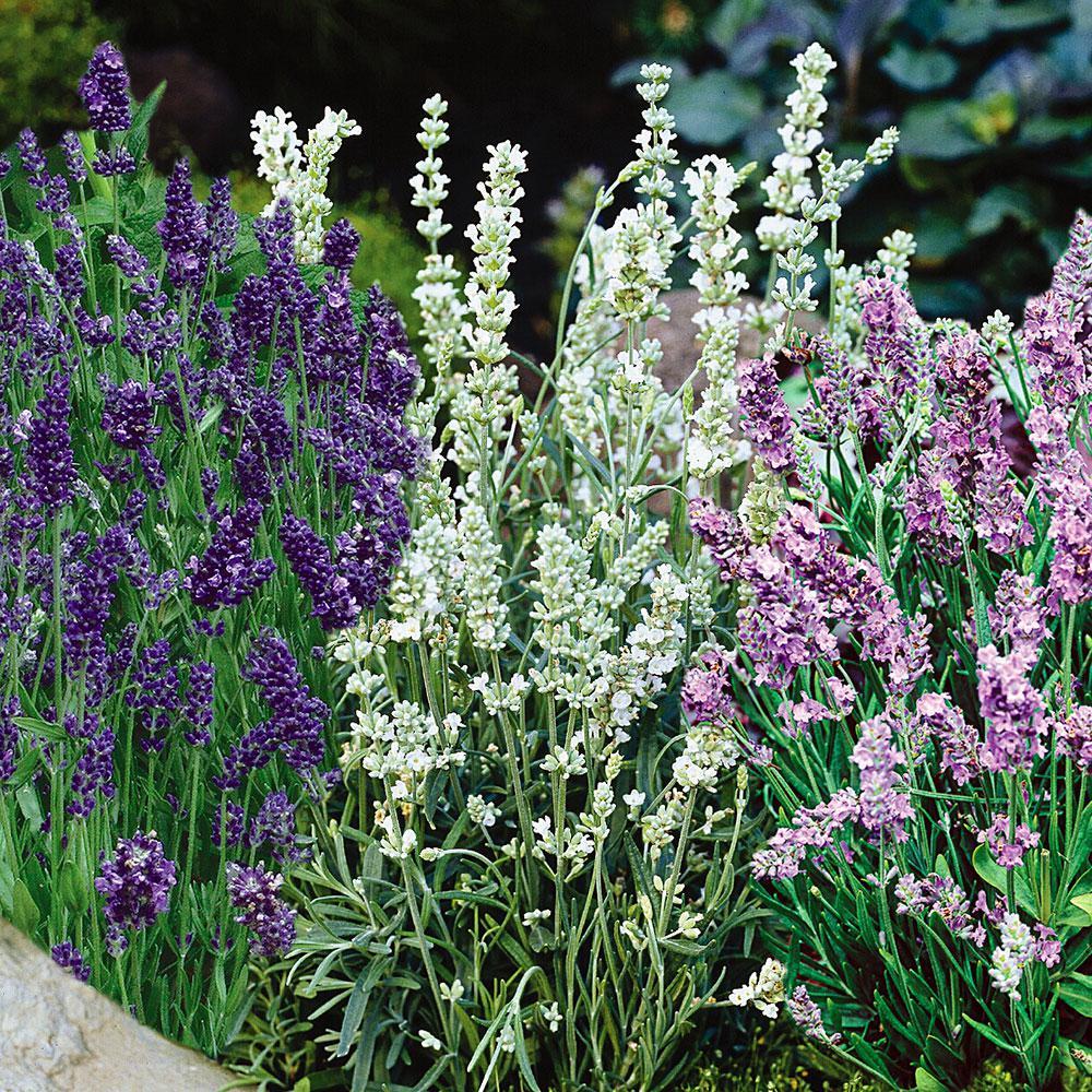 5 in. Lavender