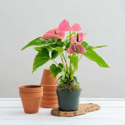 6 in. Pot Pink Dutch Anthurium Live Potted Indoor Tropical Houseplant