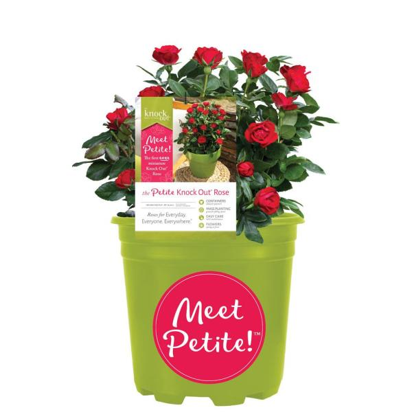 1.5 Gal. Petite Knock Out Rose with Fire Engine, Non Fading Flowers