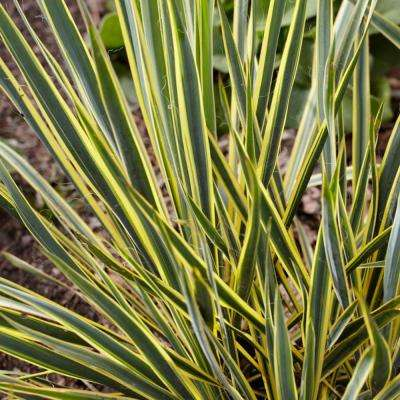 Yucca (Set of 1 Root)
