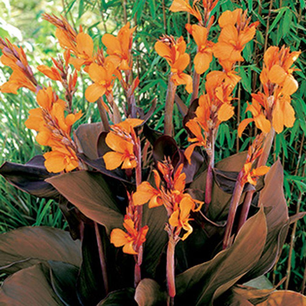 null Canna Wyoming Dormant Bulbs (6-Pack)