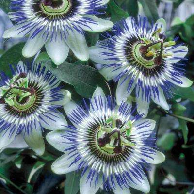 3 in. Pot Blue Passion Flower (Passiflora) Live Potted Tropical Plant (1-Pack)