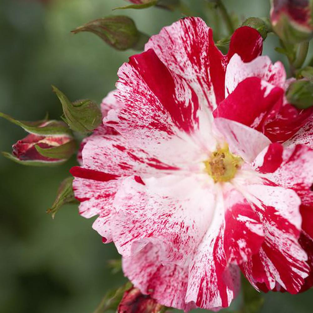 Mea Nursery Patented Freedom Is Not Free Red And White Rose Climbing