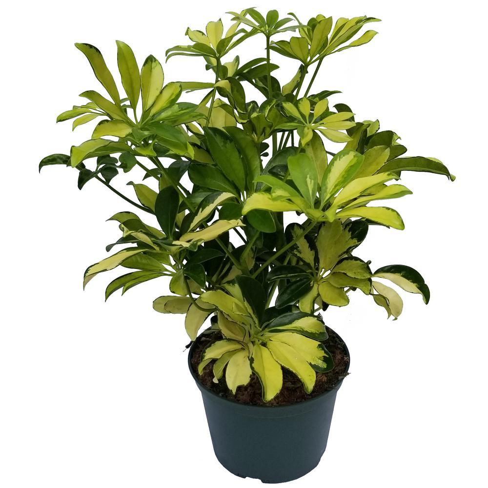 Trinette Umbrella Plant in 6 in. Grower Pot