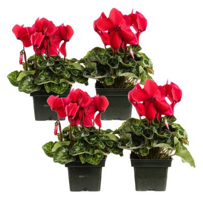 1.21-Pint Red Cyclamen Latinia in 4 in. Pot (4-Pack)